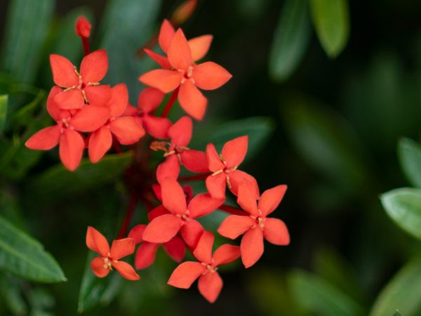 Tiny-red-flower-cluster-01